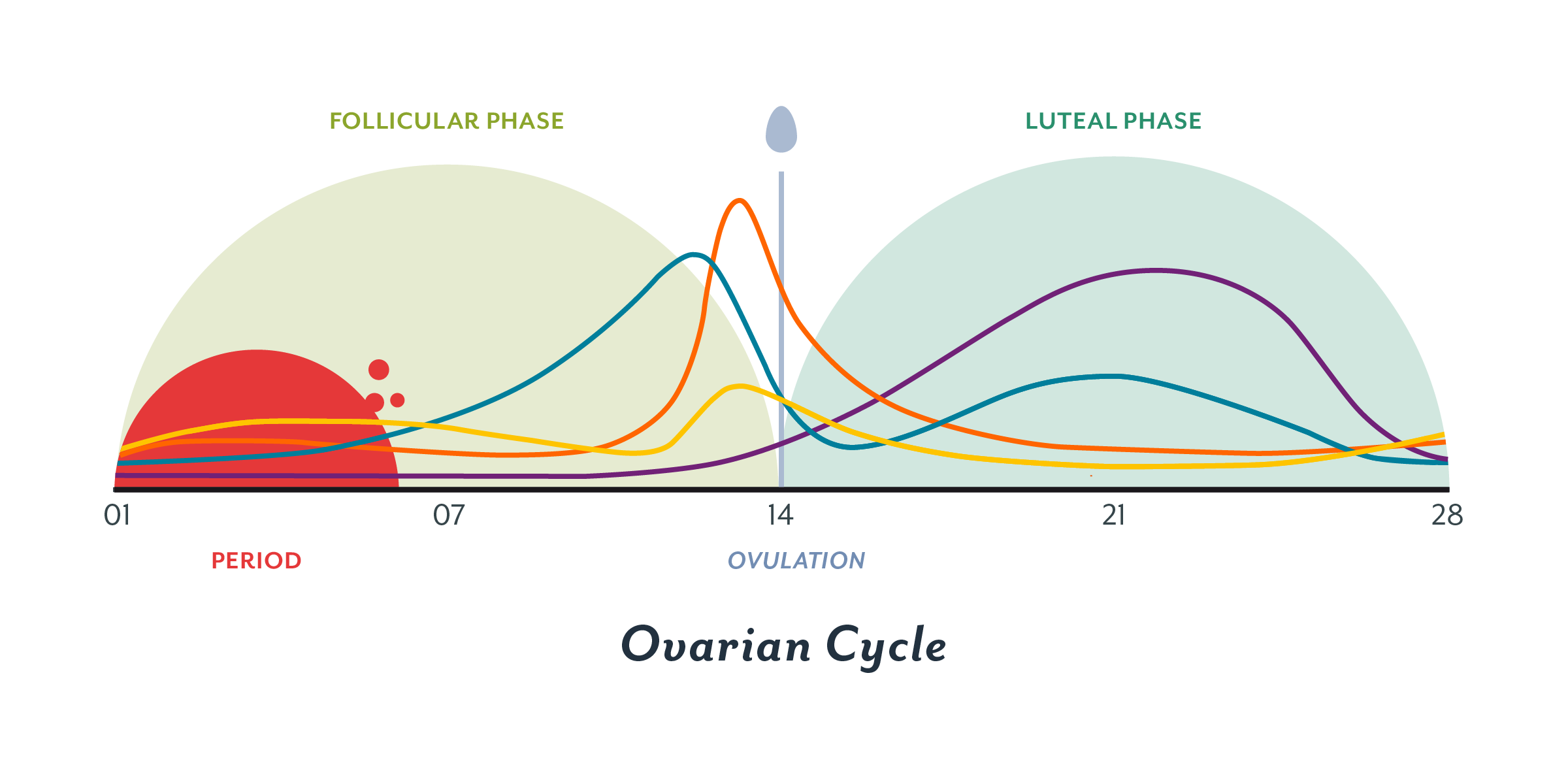 Image result for luteal phase of the menstrual cycle