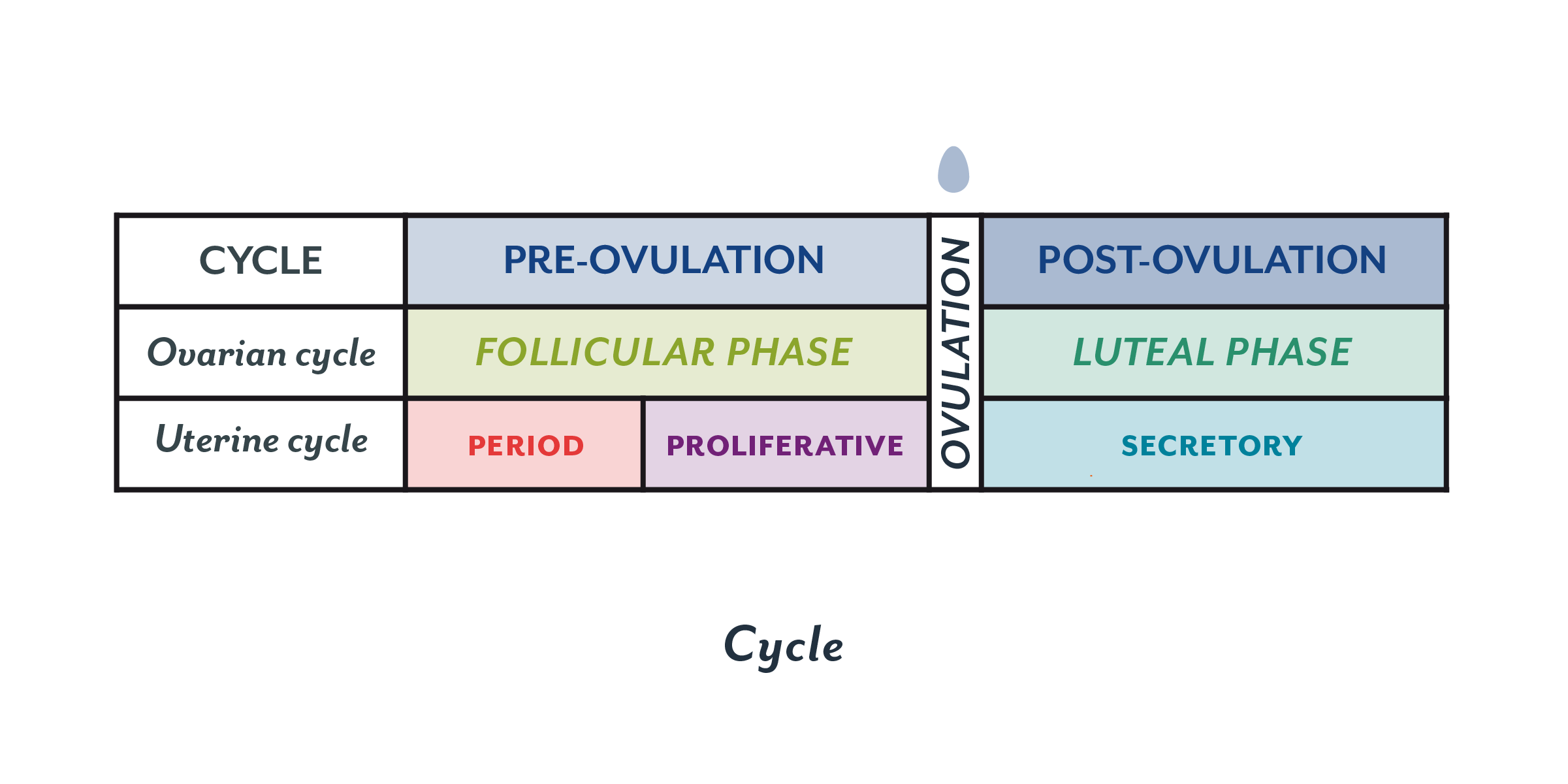 An overview of the menstrual cycle