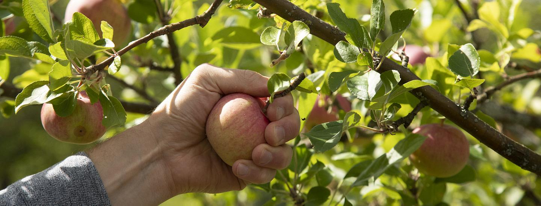 600 vuotta omenanviljelyä