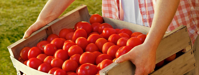 Suomalaista tomaattia tarjolla ympäri vuoden