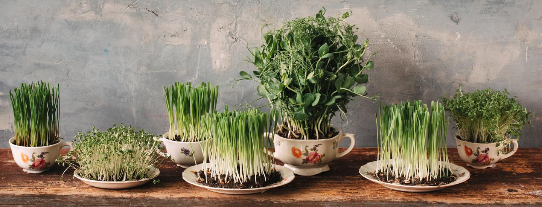 Rairuohon vaihtoehdot - kasvata pääsiäiseksi ohraruohoa, vehnänoraita tai vaikkapa maissia