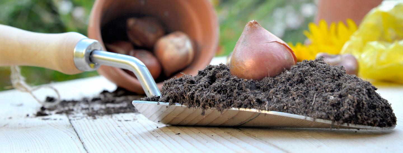 Varmista kevään sipulikukkaloisto – näin onnistut