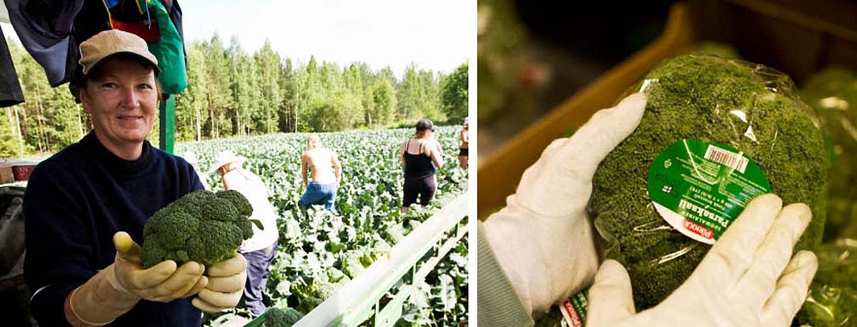 Tuoreet Pirkka-kasvikset tulevat Mikkelistä
