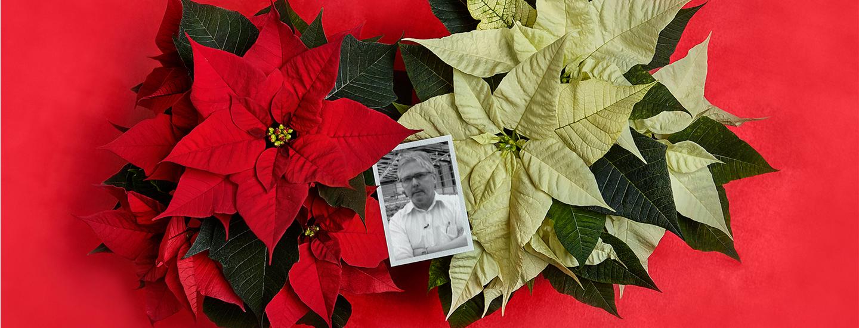 Klassisen kauniit Pirkka joulutähdet kasvavat Ylitalon puutarhalla