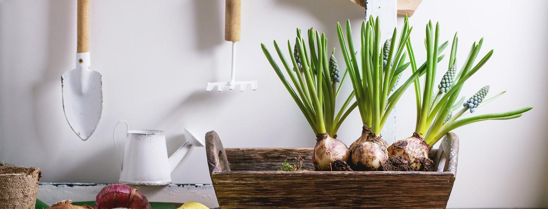 Kukkasipulien ruukkuistutus – katso 2 kaunista istutusideaa