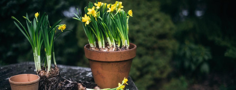 Pirkka pääsiäiskukkien hoito-ohjeet