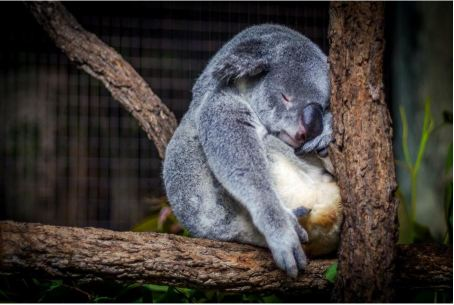2020-08-14 - Comment se remettre facilement d'une nuit blanche - koala qui dort