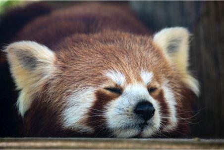 2020-08-14 - Comment se remettre facilement d'une nuit blanche - panda roux qui dort