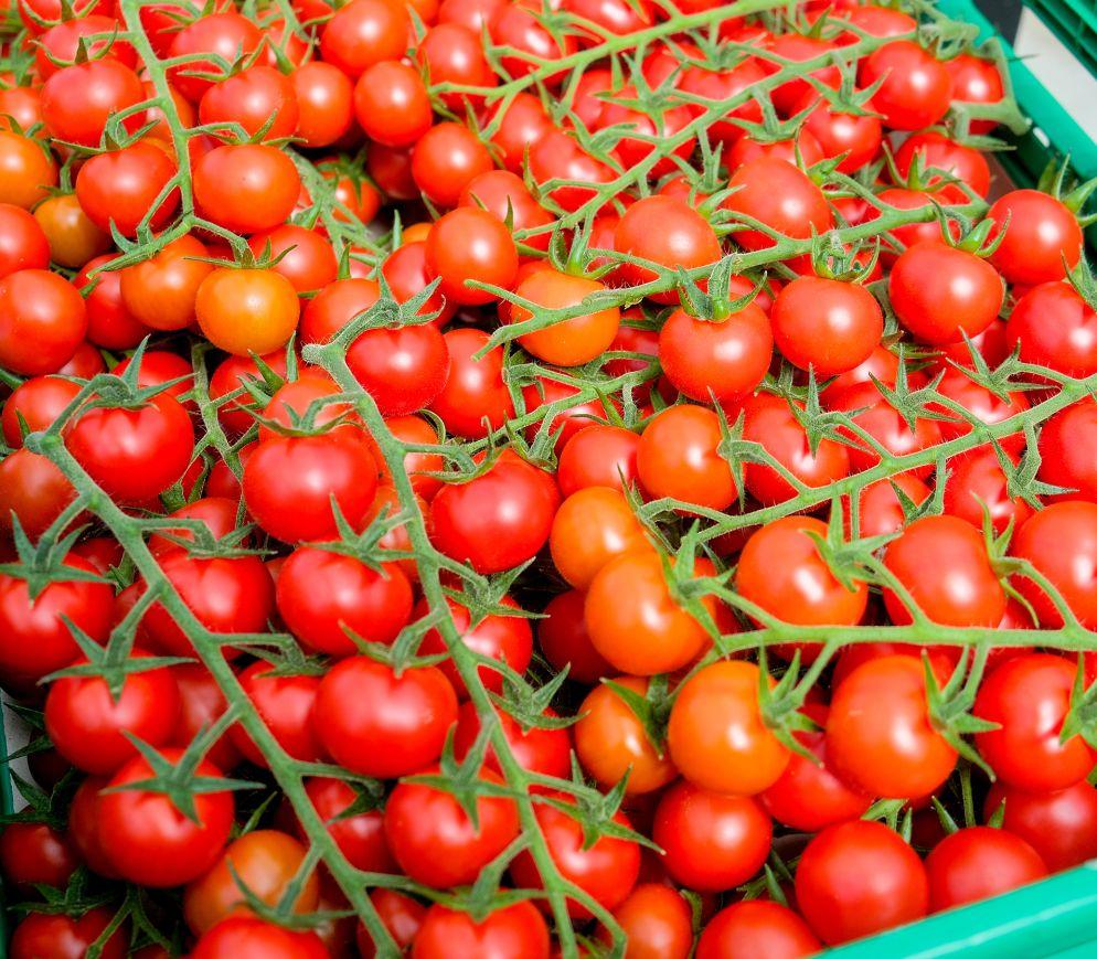 Nur bei der Ernte ausgereifte Tomaten gelangen in den Verkauf.