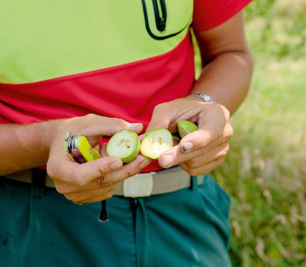 Ende Juni sind die Baumnüsse noch grün und haben eine weiche Schale, wie Urs Schaller gleich selbst demonstriert.