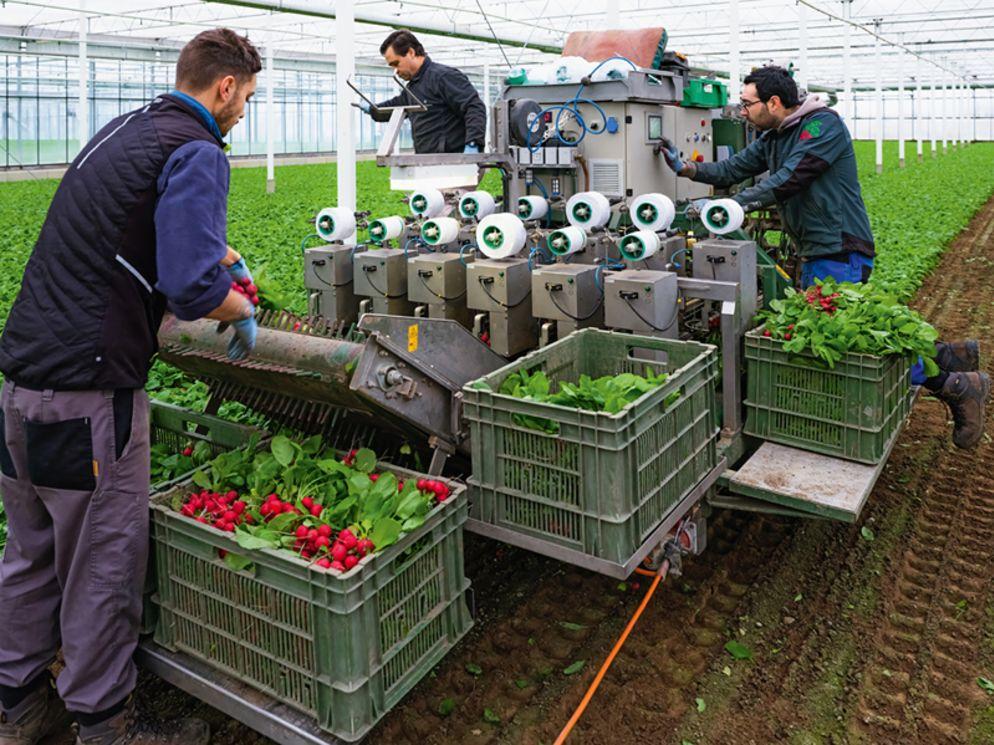 Ernten und bündeln in einem Schritt: Bei Swissradies kommt eine Spezialmaschine zum Einsatz. Noch am selben Tag wird auf der abgeernteten Fläche neu gesät.