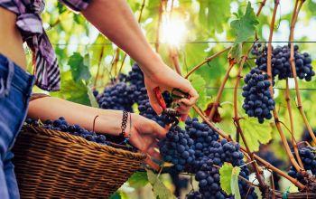 Die Zeit der Weinlese