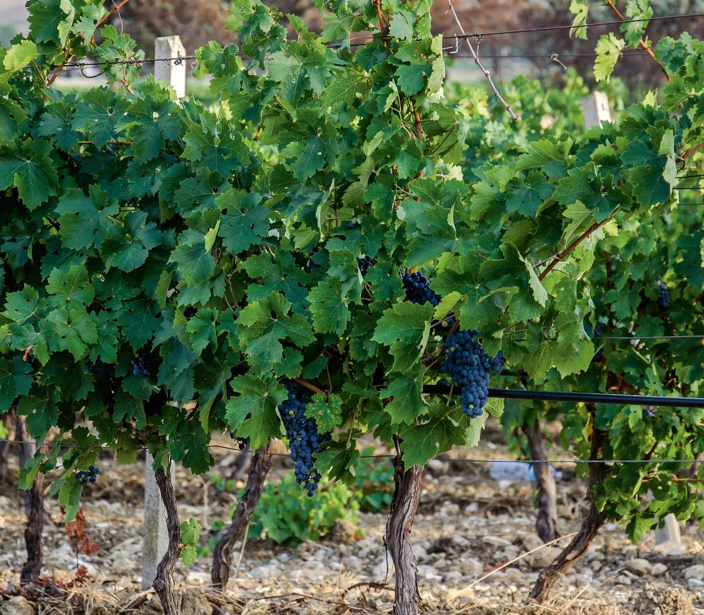 Sizilianischer Wein