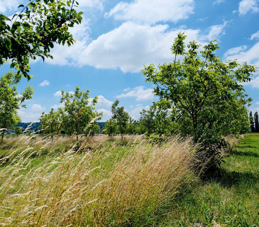 Viel Platz dazwischen: die Nussbäume von Urs Schaller in Dotzigen.