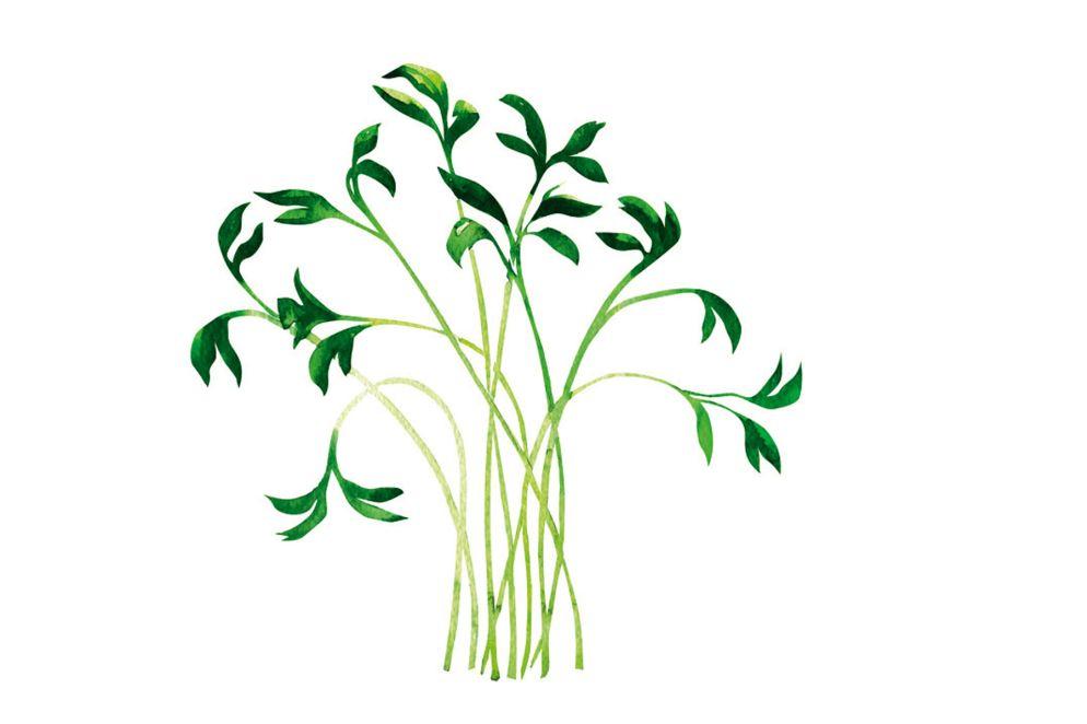 KRESSE besitzt ein würzig-frisches, meerrettichähnliches Aroma. Als würzige Zutat für Salate, Suppen, Saucen, Quark und Eiergerichte ist sie reich an Vitamin C und D, Karotin und Vitamine der B-Gruppe, ausserdem Eisen, Jod, Kalium und Kalzium.