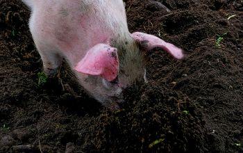 Freilandschweine auf dem Biohof Trimstein