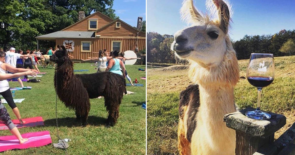 Wine And Yoga With Llamas