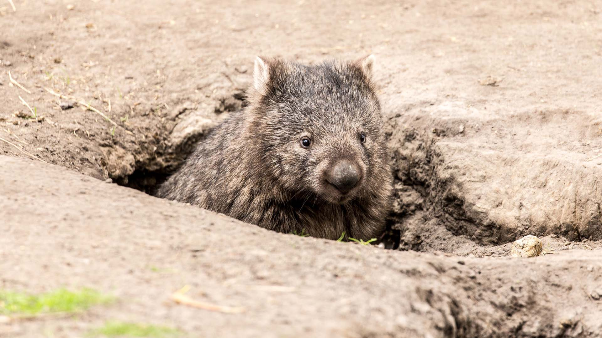 Wombats Have Been Sheltering Other Animals In Their Burrows During ...
