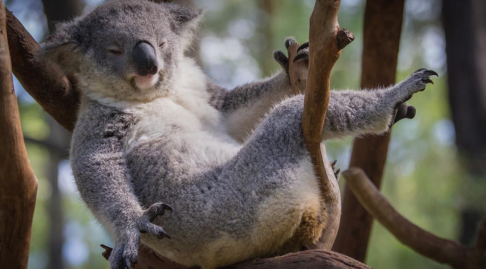 Baby Koala Given Tiny Cast After Breaking Arm In Fall From