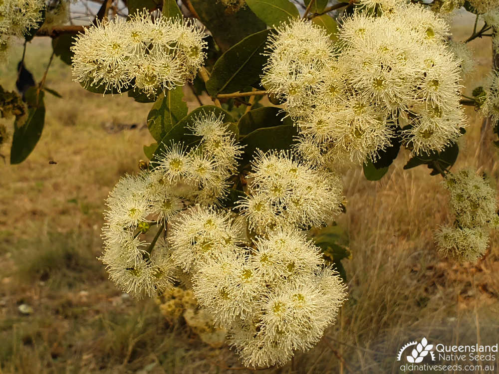 Angophora subvelutina | inflorescence | Queensland Native Seeds