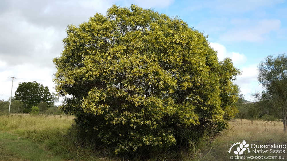 Acacia leiocalyx  | habit | Queensland Native Seeds