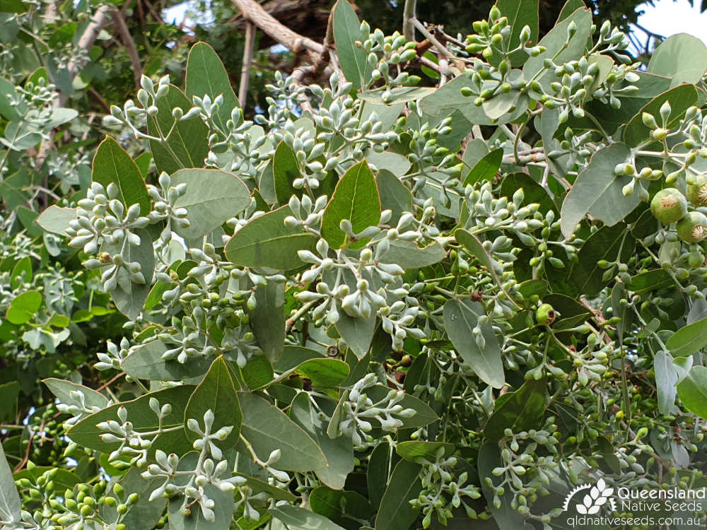 Eucalyptus melanophloia | bud | Queensland Native Seeds