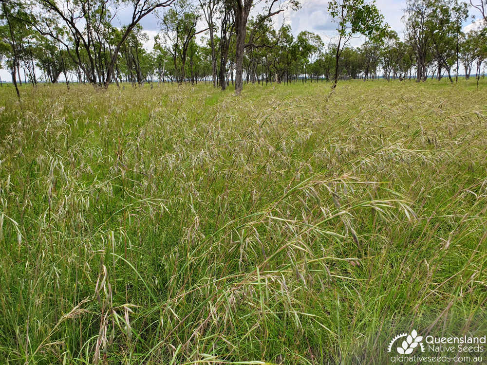 Themeda avenacea | habit | Queensland Native Seeds