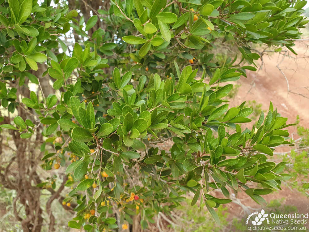 Denhamia parvifolia | leaves | Queensland Native Seeds