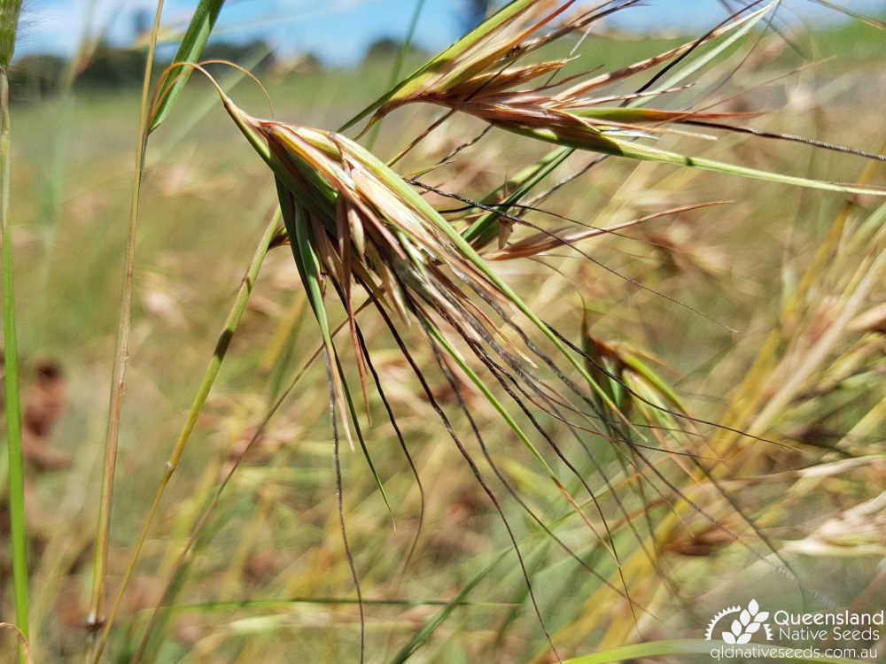 Themeda triandra | floret | Queensland Native Seeds
