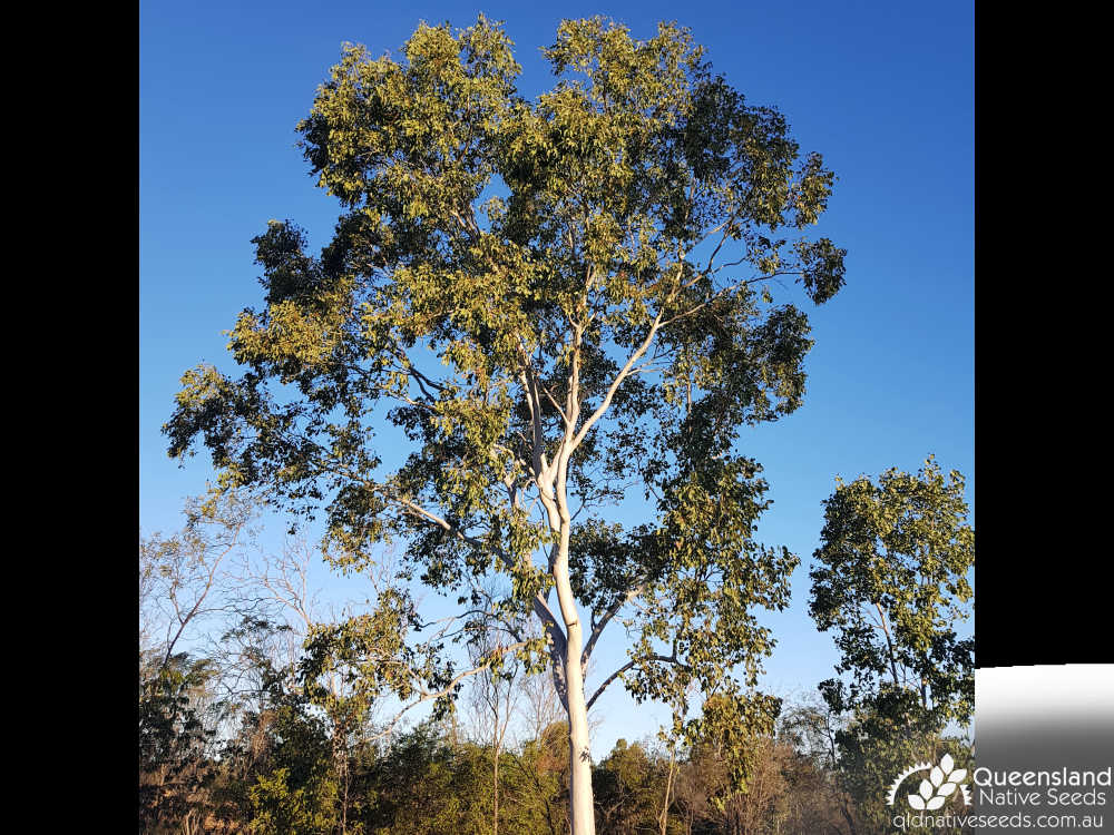 Eucalyptus platyphylla | habit | Queensland Native Seeds