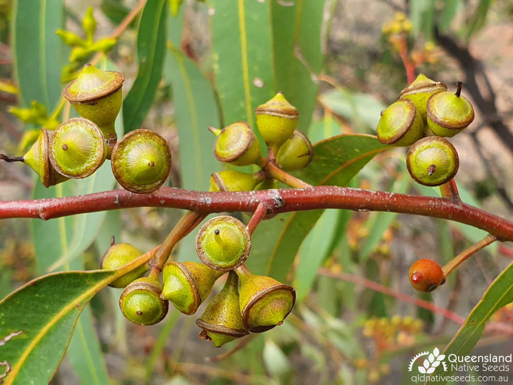 Eucalyptus longirostrata | fruit | Queensland Native Seeds