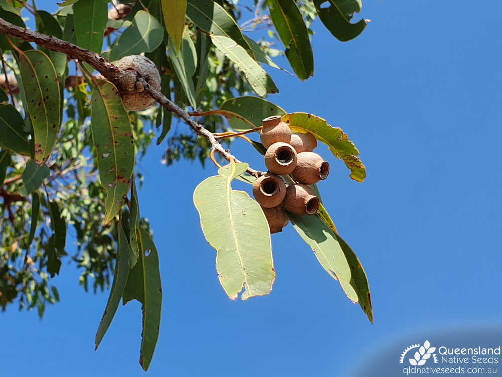 Corymbia erythrophloia | old fruit, dehisced | Queensland Native Seeds