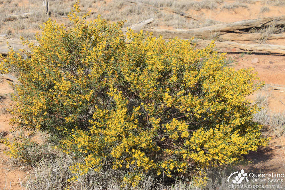 Acacia ixiophylla | habit | Queensland Native Seeds