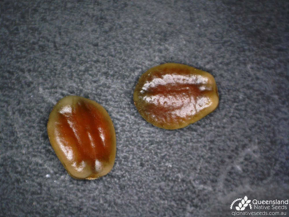 Alphitonia excelsa | seed | Queensland Native Seeds