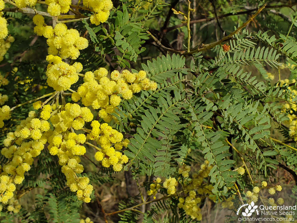 Acacia glaucocarpa | inflorescence, phyllode | Queensland Native Seeds