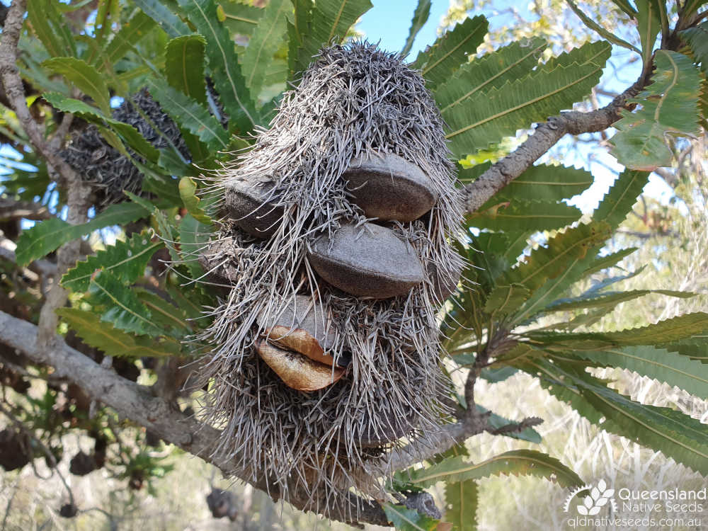 Banksia aemula | fruit | Queensland Native Seeds