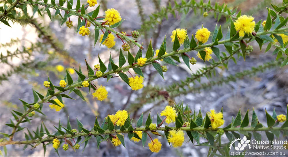 Acacia amblygona | inflorescence, phyllodes, habit | Queensland Native Seeds