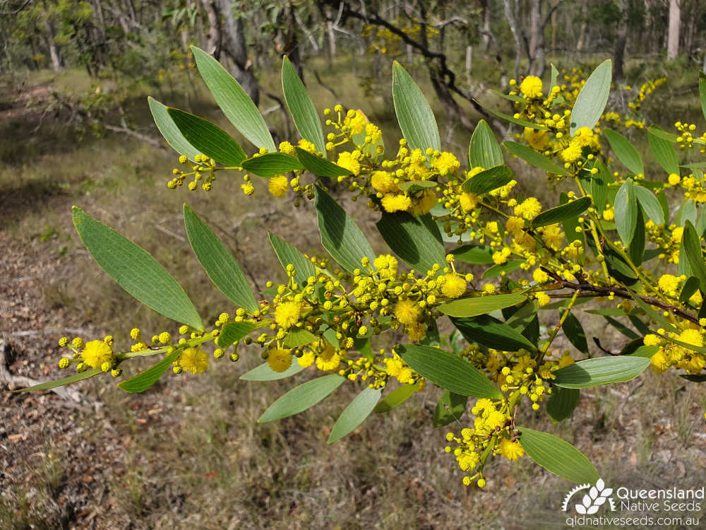 Acacia complanata | inflorescence, phyllodes | Queensland Native Seeds