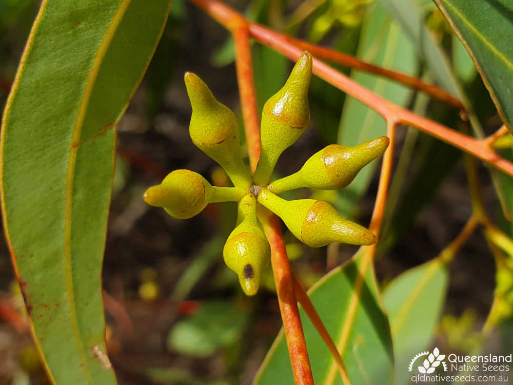 Eucalyptus longirostrata | buds | Queensland Native Seeds