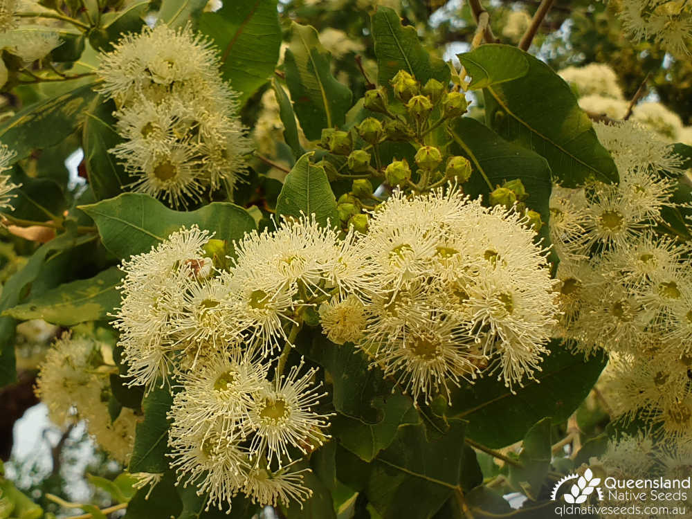 Angophora subvelutina | bud, inflorescence | Queensland Native Seeds
