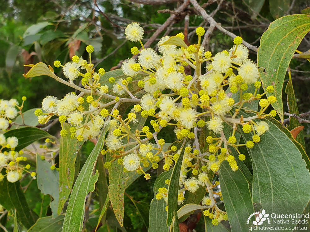 Acacia flavescens | phyllode, inflorescence, Tin Can Bay, Qld, April 2019 3 | Queensland Native Seeds