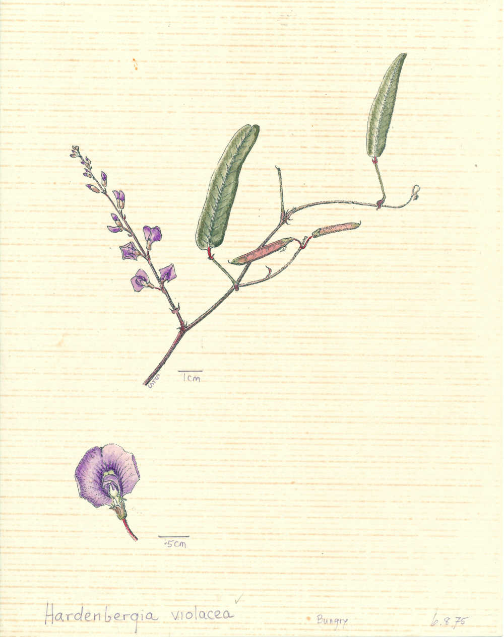 Hardenbergia violacea | depiction by Sylvia Seiler, Killara, West Boondooma | Queensland Native Seeds