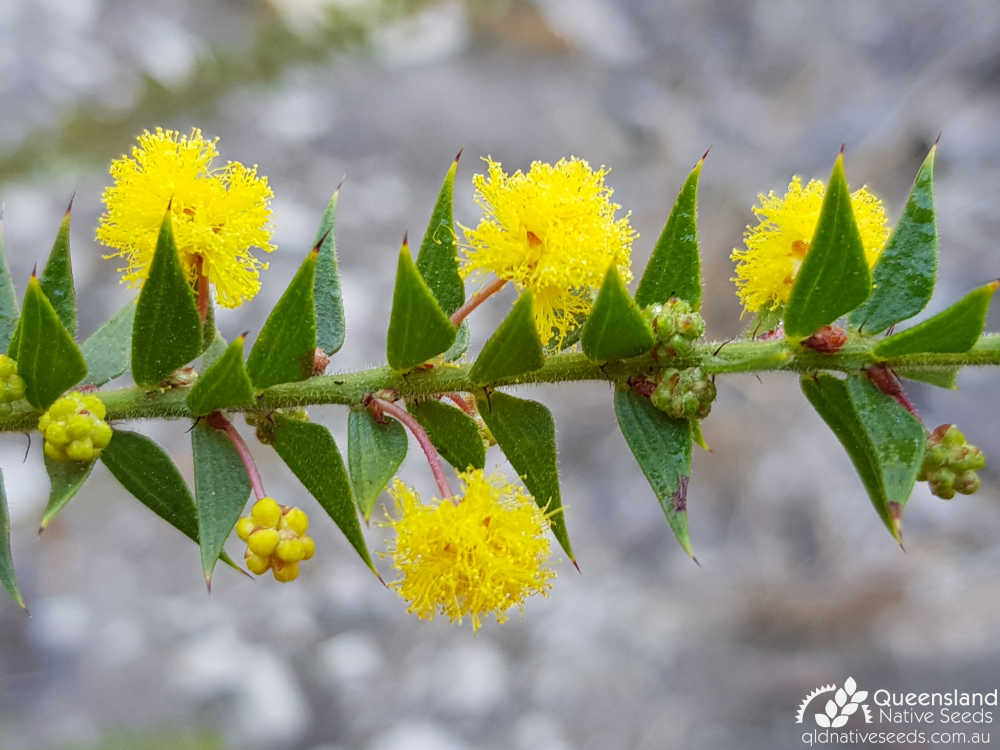 Acacia amblygona | inflorescence, phyllodes | Queensland Native Seeds