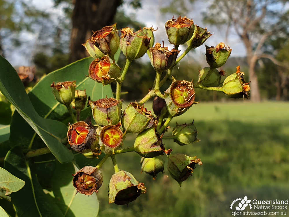 Angophora subvelutina | fruit | Queensland Native Seeds