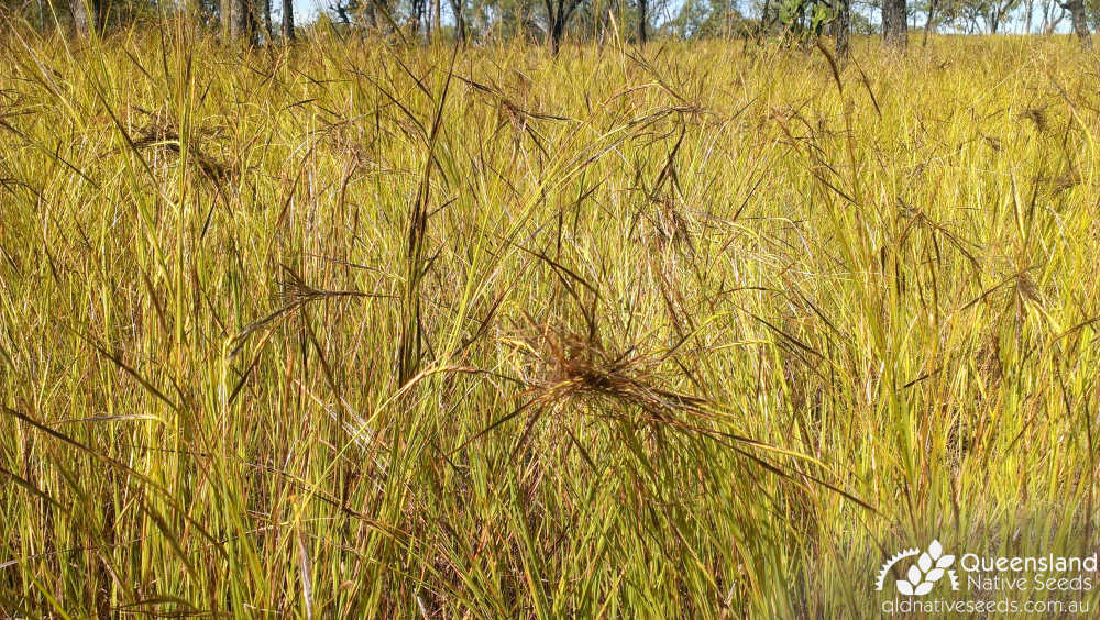 Heteropogon contortus | inflorescence | Queensland Native Seeds