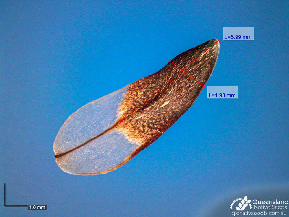 Allocasuarina torulosa | microscope seed | Queensland Native Seeds