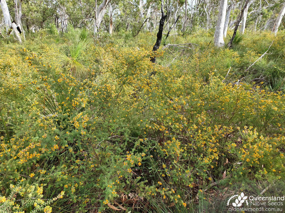 Pultenaea villosa | habitat | Queensland Native Seeds