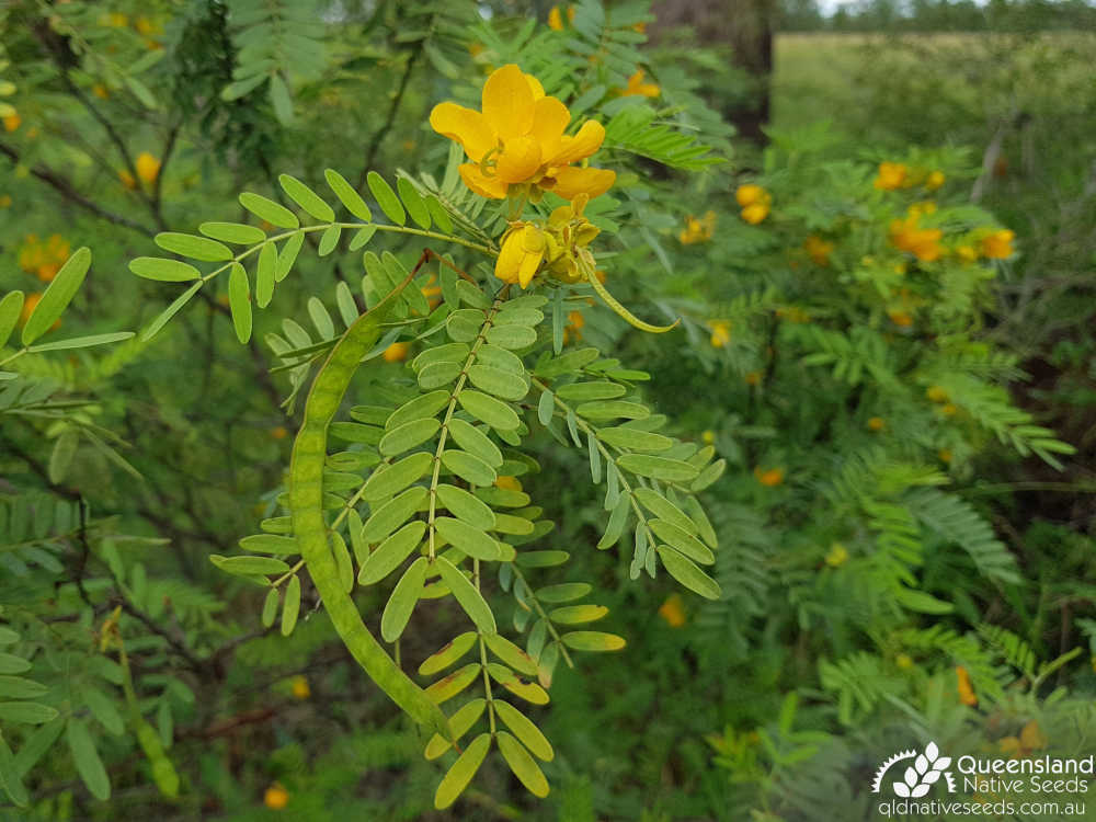 Senna coronilloides | inflorescence, fruit, foliage | Queensland Native Seeds