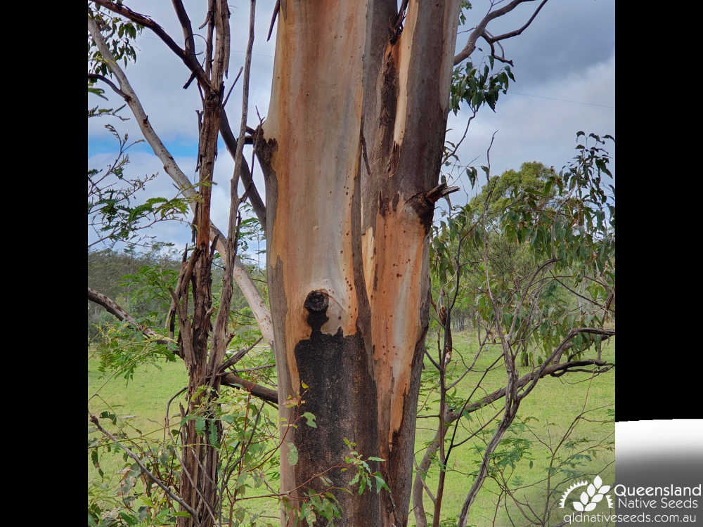 Eucalyptus longirostrata | bark | Queensland Native Seeds