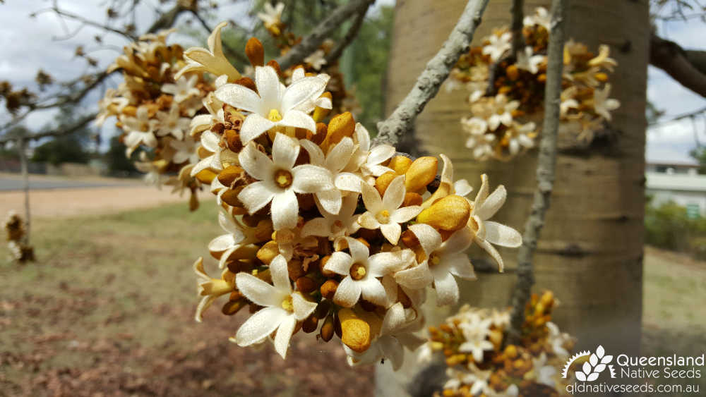 Brachychiton australis | inflorescence in cultivation | Queensland Native Seeds